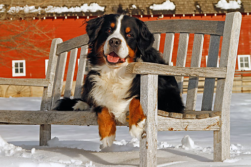 DOG 01 DB0016 01 © Kimball Stock Bernese Mountain Dog Laying On Bench In Snow By Barn