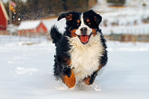 DOG 01 DB0018 01 © Kimball Stock Bernese Mountain Dog Frolicking In The Snow