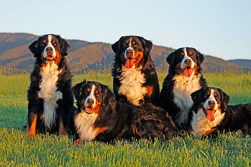 DOG 01 DB0019 01 © Kimball Stock Bernese Mountain Dogs Sitting By Hills