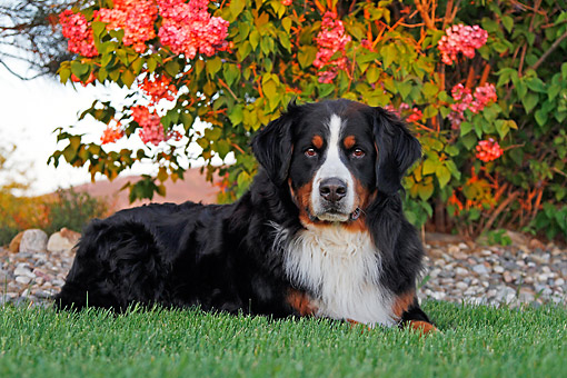DOG 01 DB0020 01 © Kimball Stock Bernese Mountain Dog Laying In Grass By Flowers