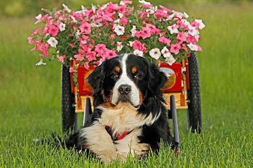 DOG 01 DB0023 01 © Kimball Stock Bernese Mountain Dog Laying With Cart Full Of Flowers