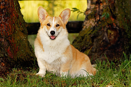 DOG 01 DB0027 01 © Kimball Stock Welsh Corgi Sitting In Grass By Trees