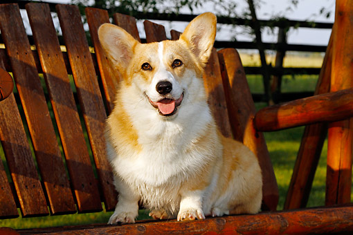 DOG 01 DB0028 01 © Kimball Stock Welsh Corgi Sitting In Chair In Yard