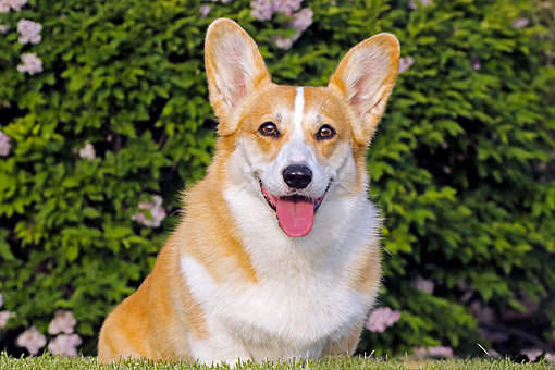 DOG 01 DB0033 01 © Kimball Stock Welsh Corgi Sitting In Grass By Bush