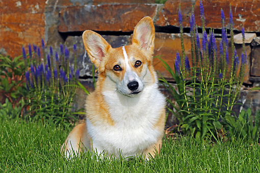 DOG 01 DB0037 01 © Kimball Stock Welsh Corgi Sitting In Grass By Flowers And Wall