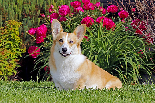 DOG 01 DB0038 01 © Kimball Stock Welsh Corgi Sitting In Grass By Flowers And Wall