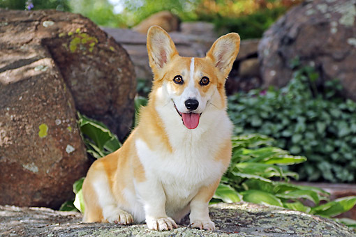 DOG 01 DB0039 01 © Kimball Stock Welsh Corgi Sitting By Rocks