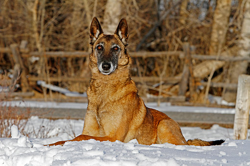 DOG 01 DB0040 01 © Kimball Stock Belgian Shepherd Malinois Laying In The Snow By Fence