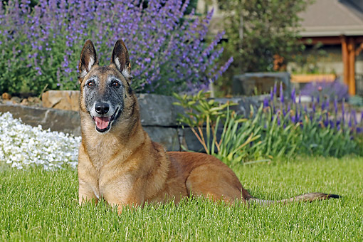 DOG 01 DB0041 01 © Kimball Stock Belgian Shepherd Malinois Laying In Grass By Flowers