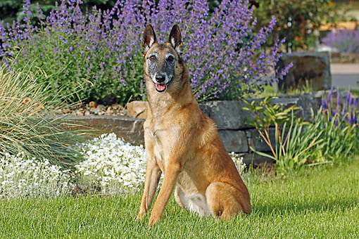 DOG 01 DB0042 01 © Kimball Stock Belgian Shepherd Malinois Sitting In Grass By Flowers