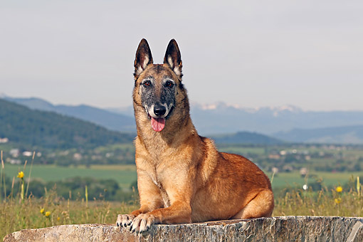 DOG 01 DB0043 01 © Kimball Stock Belgian Shepherd Malinois Laying On Log In Valley With Mountains In Background