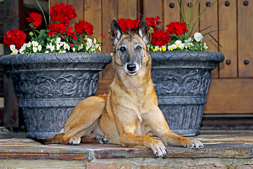 DOG 01 DB0044 01 © Kimball Stock Belgian Shepherd Malinois Laying On Patio By Flowers