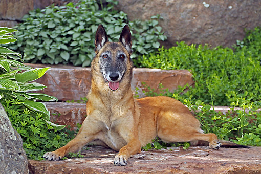 DOG 01 DB0045 01 © Kimball Stock Belgian Shepherd Malinois Laying On Stairs