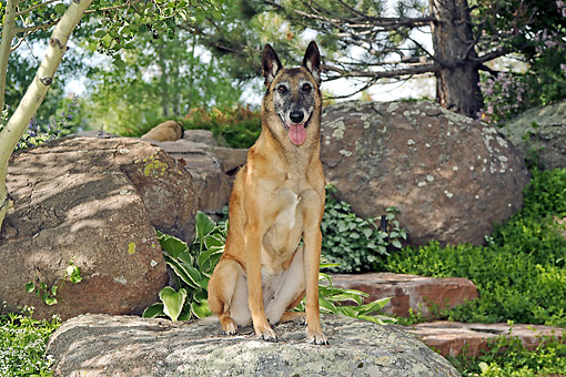 DOG 01 DB0046 01 © Kimball Stock Belgian Shepherd Malinois Sitting On Rock By Trees