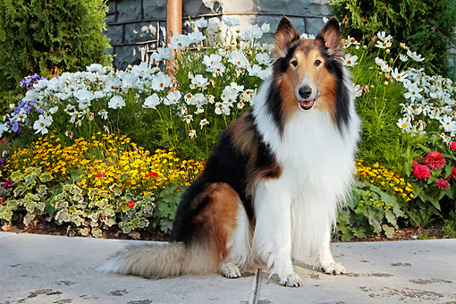 DOG 01 DB0047 01 © Kimball Stock Collie Sitting By Flowers