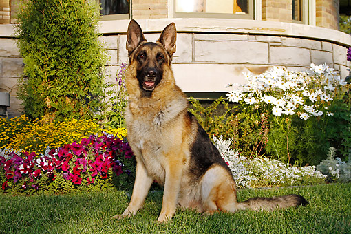 DOG 01 DB0048 01 © Kimball Stock German Shepherd Sitting In Grass By House