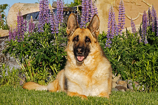 DOG 01 DB0051 01 © Kimball Stock German Shepherd Laying By Flowers In Garden