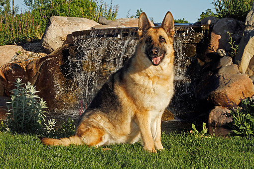 DOG 01 DB0052 01 © Kimball Stock German Shepherd Sitting By Waterfall In Garden