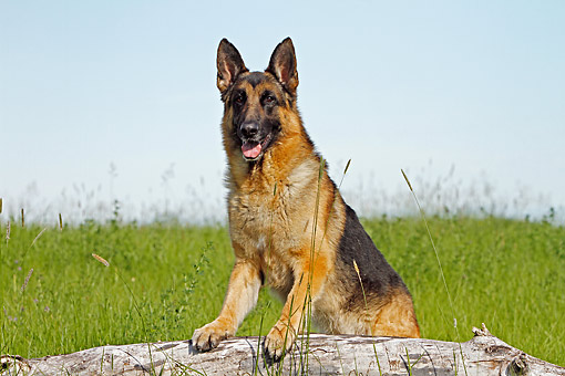DOG 01 DB0055 01 © Kimball Stock German Shepherd Sitting On Log In Field