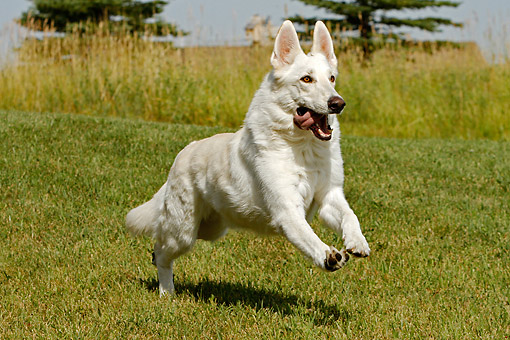 DOG 01 DB0056 01 © Kimball Stock White German Shepherd Running Through Field