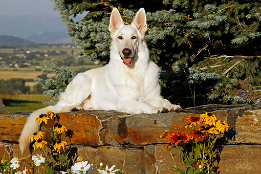 DOG 01 DB0057 01 © Kimball Stock White German Shepherd Laying On Stones By Fir Tree