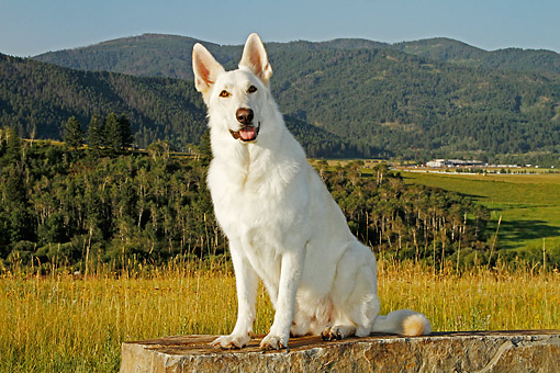 DOG 01 DB0058 01 © Kimball Stock White German Shepherd Sitting On Stone By Hills