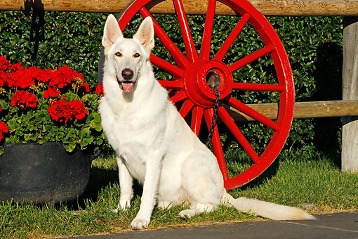 DOG 01 DB0059 01 © Kimball Stock White German Shepherd Sitting By Red Wagon Wheel