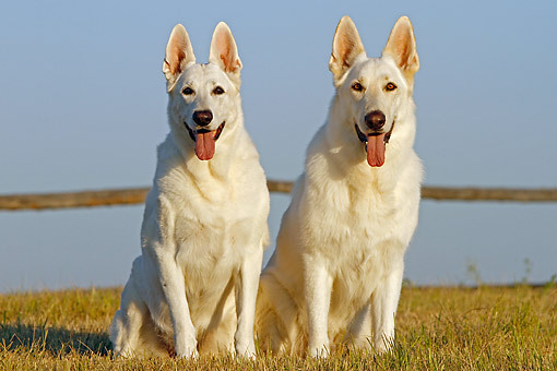 DOG 01 DB0060 01 © Kimball Stock White German Shepherds Sitting On Dry Grass By Fence