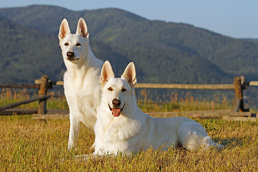 DOG 01 DB0061 01 © Kimball Stock White German Shepherds Sitting On Dry Grass By Fence