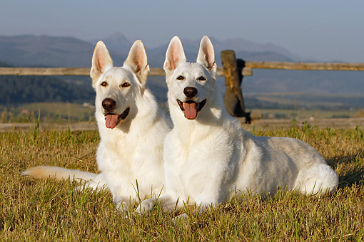 DOG 01 DB0062 01 © Kimball Stock White German Shepherds Sitting On Dry Grass By Fence