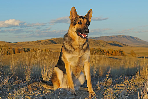 DOG 01 DB0063 01 © Kimball Stock German Shepherd Sitting In Desert Landscape