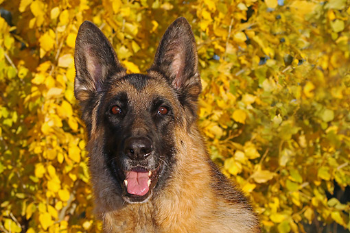 DOG 01 DB0064 01 © Kimball Stock German Shepherd Portrait By Autumn Leaves
