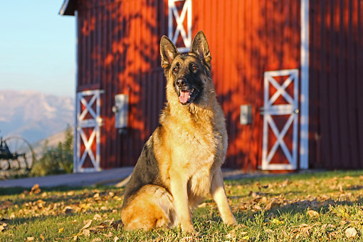 DOG 01 DB0065 01 © Kimball Stock German Shepherd Sitting By Barn