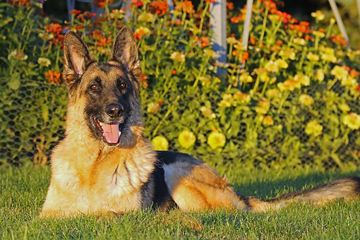 DOG 01 DB0066 01 © Kimball Stock German Shepherd Laying In Grass By Flowers