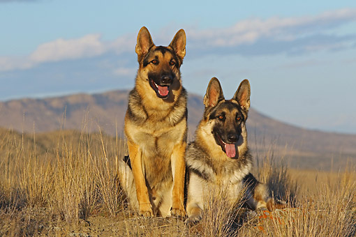 DOG 01 DB0068 01 © Kimball Stock German Shepherds Laying Together In Desert Landscape