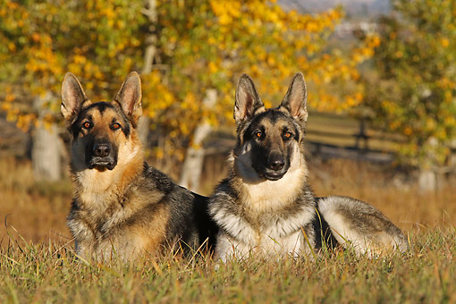 DOG 01 DB0069 01 © Kimball Stock German Shepherds Laying Together In Grass By Autumn Trees