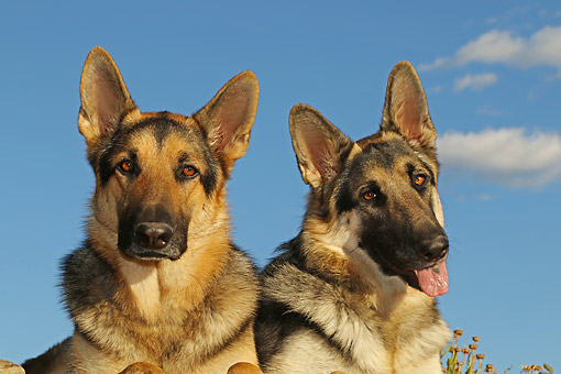 DOG 01 DB0071 01 © Kimball Stock German Shepherds Close-Up