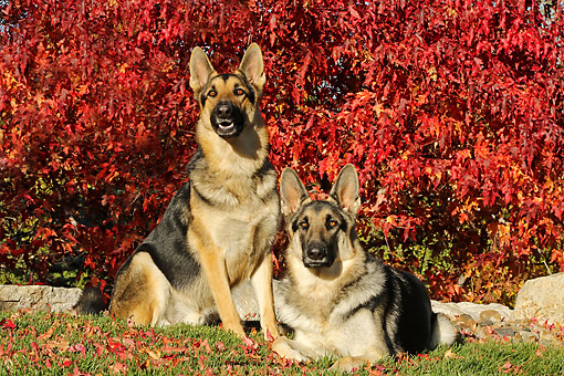 DOG 01 DB0072 01 © Kimball Stock German Shepherds Sitting By Autumn Tree