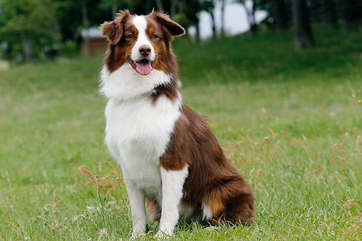 DOG 01 DB0074 01 © Kimball Stock Australian Shepherd Standing In Pasture