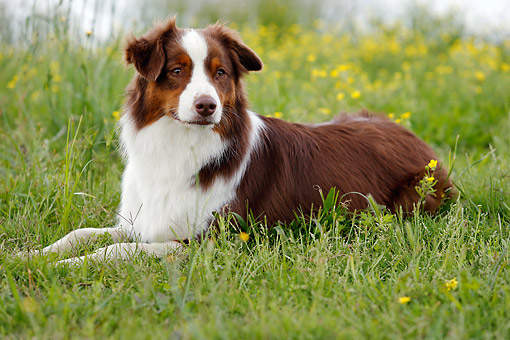 DOG 01 DB0075 01 © Kimball Stock Australian Shepherd Laying In Grass