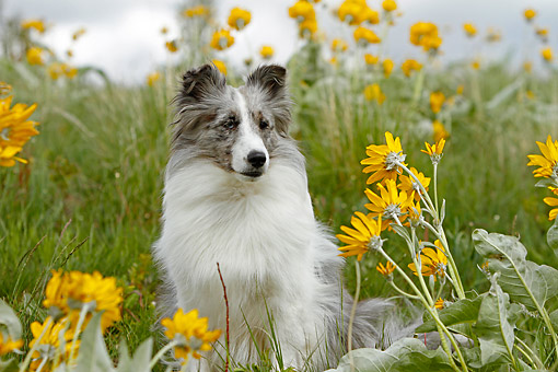 DOG 01 DB0076 01 © Kimball Stock Shetland Sheepdog Sitting In Field Of Flowers