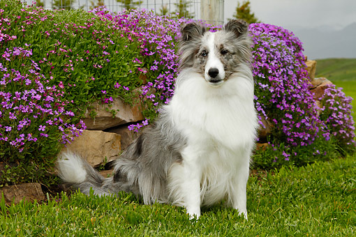 DOG 01 DB0077 01 © Kimball Stock Shetland Sheepdog Sitting In Grass By Flowers