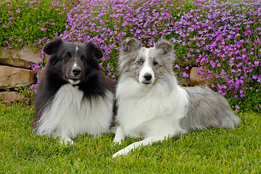 DOG 01 DB0078 01 © Kimball Stock Shetland Sheepdogs Laying In Grass By Flowers