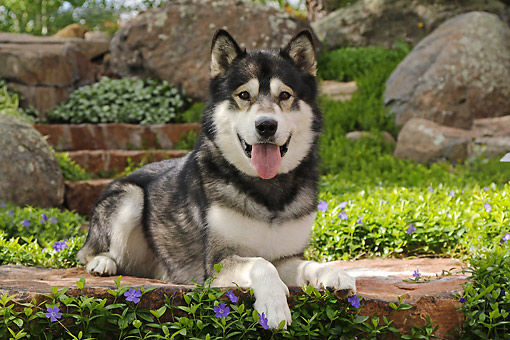 DOG 01 DB0081 01 © Kimball Stock Alaskan Malamute Laying On Steps By Flowers