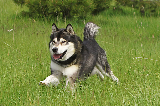 DOG 01 DB0083 01 © Kimball Stock Alaskan Malamute Running Through Grass