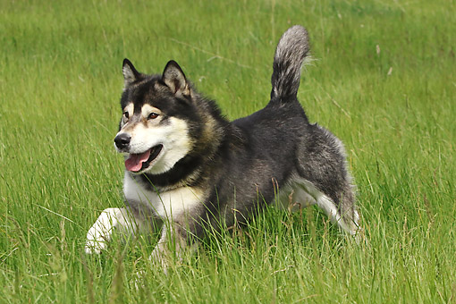 DOG 01 DB0084 01 © Kimball Stock Alaskan Malamute Running Through Grass