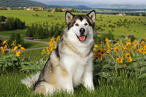 DOG 01 DB0085 01 © Kimball Stock Alaskan Malamute Sitting On Hill Over Valley