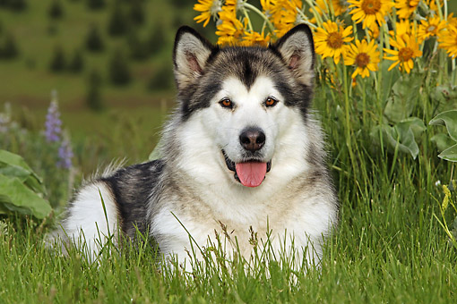 DOG 01 DB0086 01 © Kimball Stock Alaskan Malamute Laying On Grass By Flowers