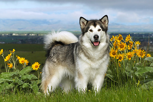 DOG 01 DB0087 01 © Kimball Stock Alaskan Malamute Standing On Hill Over Valley