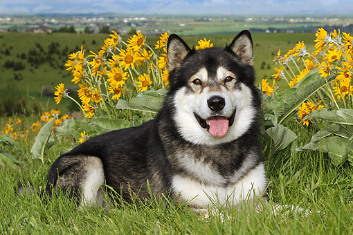 DOG 01 DB0088 01 © Kimball Stock Alaskan Malamute Laying On Hill Over Valley